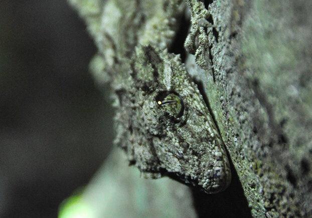 leaf tailed gecko (1)